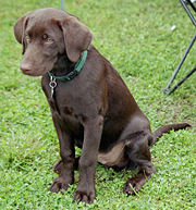 250px-Labrador Retriever Chocolate Puppy .jpg
