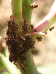 Tas de fourmis-6470.jpg