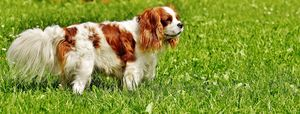 Dog-cavalierKC.jpg