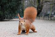 Ecureuil-écureuil roux.jpg
