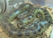 Anaconda vert (Eunectes murinus), la plus grosse espèce d'anaconda.