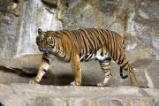 Tigre de Sumatra.jpg