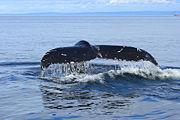 Baleine à bosse-9054.jpg