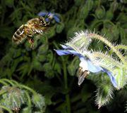 Une abeille en vol