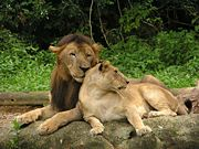 Lion 22.JPG