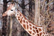 Girafe-9404.jpg