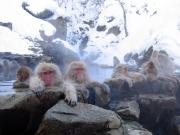Macaque fuscata.jpg