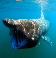 Requin-pélerin dans l'eau.JPG