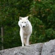 Loup blanc-6707.jpg
