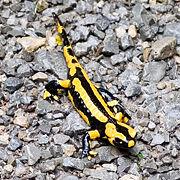 Salamandre tâchetée.jpg