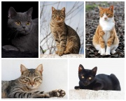 Il existe près d'une cinquantaine de races de chats domestiques différentes.