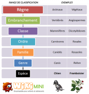 Schéma-Classification-scientifique des espèces d'êtres vivants.png