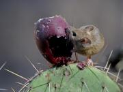 Peromyscus maniculatus.jpg