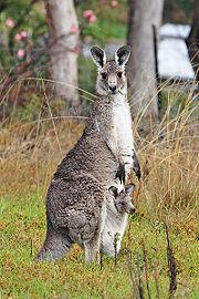 Kangourou géant-Femelle-Marsupial-Petit-Bébé.jpg