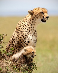 File:Cheetah (Acinonyx jubatus).jpg
