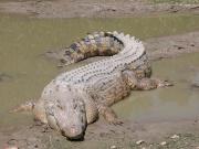 Crocodile marin (Crocodylus porosus)-Crocodile de mer.jpg