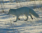 Renard polaire-Renard arctique.jpg