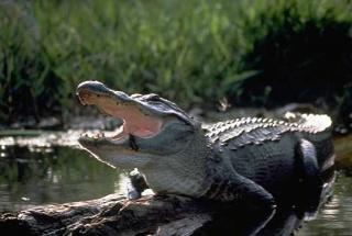 Fichier:Alligator.jpg
