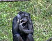 Bonobo (Pan paniscus).jpg