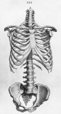 Squelette humain torse.jpg