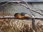 Écureuil à trois couleurs.jpg