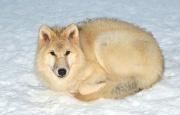 Loup arctique (Canis lupus arctos)-Loup blanc.jpg