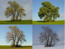 Peuplier-arbre-saisons.jpg