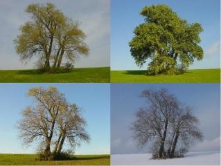 Fichier:Peuplier-arbre-saisons.jpg
