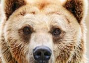 l'ours brun qui observent
