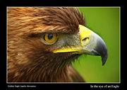 Aigle royal-6637.jpg