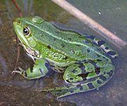 La grenouille verte est une espèce de grenouille très répandue en Europe.