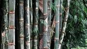 Growing Green Bamboo Plants-2819.jpg