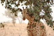 Girafe du Niger (Giraffa camelopardalis peralta).jpg