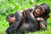 Chimpanzé-4042.jpg
