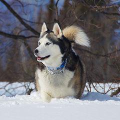 Fichier:Husky dans la neige-3101.jpg