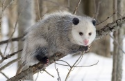 Opossum (2).jpg