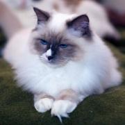 Chaton blanc aux yeux bleu-1368.jpg