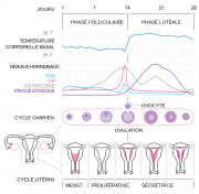 Diagramme du cycle menstruel.png
