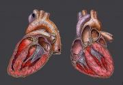Schéma d'un cœur