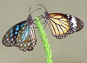 Deux monarques au stade de l'accouplement