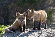 Petits renardeaux sur un rocher-9583.jpg