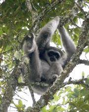 Gibbon cendré (Hylobates moloch)-3151.jpg
