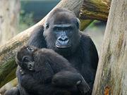 Gorille-Guenon-Mère-Maman-Enfant-Bébé-Petit-8929.jpg