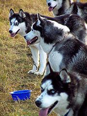 Fichier:Husky sibérien-Huskies sibériens.jpg