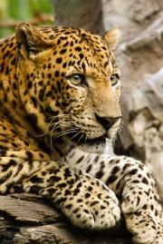 Panthère (léopard) à l'affut-3073.jpg