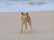 Dingo-4254.jpg