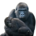 Mother and baby gorilla.jpg