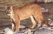 Puma-cougar (Puma concolor).jpg