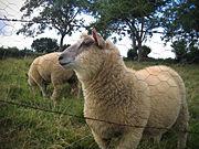 Mouton-5790.jpg