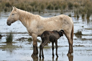 File:Wild horses-mother and young.jpg